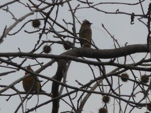 cardinal & cedar waxwing in sweetgum tree