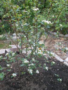 chokeberry shrub