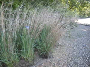 iris in grass