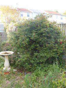 monster rose bush