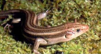 lizards_five-lined_skinkadult_mattsell