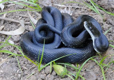 snake_erat_johnwhite